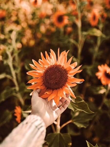 Hand, die eine Sonneblume hält, in einem Feld aus Sonnenblumen als Symbolbild für den Ersthelfertreff.